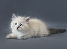 Siberian colorpoint kitten royalty free stock image