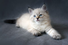 Sberian color point kitten Royalty Free Stock Images