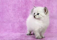 Sberian colorpoint kitten Royalty Free Stock Images