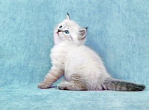 Sberian color point kitten Royalty Free Stock Photography