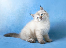 Sberian colorpoint kitten Royalty Free Stock Photo