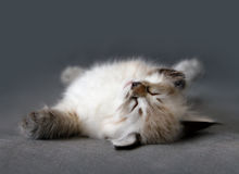 Sberian color point sleeping kitten Royalty Free Stock Photos