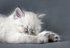Sberian colorpoint sleeping kitten royalty free stock images