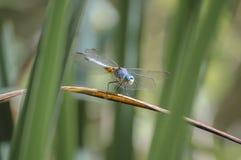 Sbirciare libellula Immagini Stock