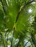 Sbirciate di Sun attraverso la palma Fotografie Stock Libere da Diritti