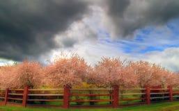 sboccia la ciliegia Fotografia Stock