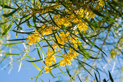 Sbocciando del pycnantha dell'acacia dell'albero della mimosa, fine dell'acacia dorata su in primavera, fiori gialli luminosi, co Fotografia Stock Libera da Diritti