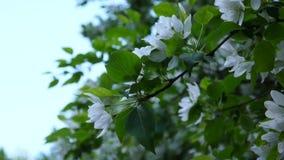 Sbocciando dell'albero bianco del cinese della mela Grande scena della molla della natura con i rami di fioritura Video metraggio archivi video