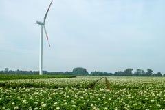 Sbocciando della patata sistema, piante di patate con i fiori bianchi Immagine Stock Libera da Diritti