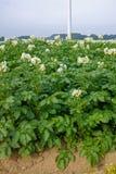 Sbocciando della patata sistema, piante di patate con i fiori bianchi Immagini Stock Libere da Diritti