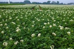 Sbocciando della patata sistema, piante di patate con i fiori bianchi Fotografia Stock