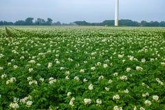 Sbocciando della patata sistema, piante di patate con i fiori bianchi Fotografie Stock Libere da Diritti