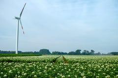 Sbocciando della patata sistema, piante di patate con i fiori bianchi Fotografia Stock Libera da Diritti