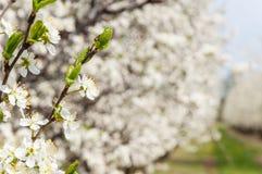 Sbocciare bianco dei fiori della prugna della molla stagionale Fiore del frutteto della prugna in Polonia fotografia stock libera da diritti