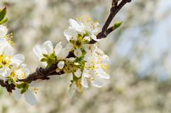 Sbocciare bianco dei fiori della prugna della molla stagionale Fiore del frutteto della prugna in Polonia fotografia stock