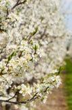 Sbocciare bianco dei fiori della prugna della molla stagionale Fiore del frutteto della prugna in Polonia immagine stock libera da diritti