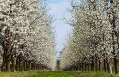 Sbocciare bianco dei fiori della prugna della molla stagionale Fiore del frutteto della prugna in Polonia fotografie stock