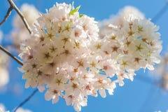 Sbocciare dei fiori della ciliegia Fotografie Stock Libere da Diritti