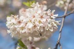 Sbocciare dei fiori della ciliegia Fotografia Stock