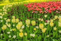 Sbocciare dei tulipani in un parco Fotografia Stock Libera da Diritti