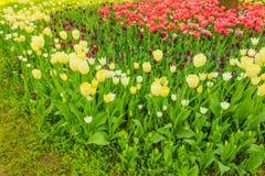 Sbocciare dei tulipani in un parco Fotografie Stock