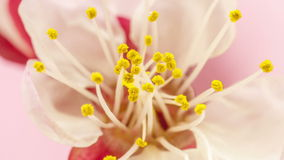 Sbocciare del fiore dell'albicocca