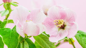 Sbocciare del fiore della cotogna