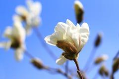 sbocciare dell'albero della magnolia Fotografia Stock Libera da Diritti
