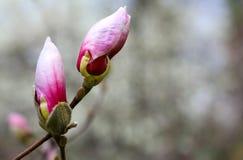 sbocciare dell'albero della magnolia Immagini Stock