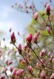 sbocciare dell'albero della magnolia Immagine Stock