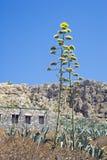 Sbocciare della pianta di secolo Fotografia Stock Libera da Diritti