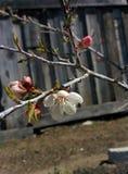 Sbocciare della primavera fotografie stock libere da diritti