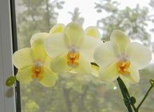 Sbocciare pesante del ramo bianco dell'orchidea Fotografie Stock