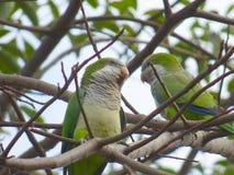 Sbucci dei pappagalli Pappagalli verdi Coppie dei pappagalli fotografia stock libera da diritti
