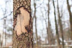 Sbucciatura della corteccia dall'albero Immagine Stock Libera da Diritti