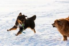 Scène agressive de deux chiens dans la neige Photographie stock libre de droits