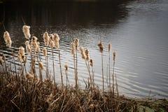Scène automnale de lac et de roseau Images libres de droits