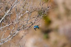 Scène avec la mésange bleue un matin de ressort image libre de droits