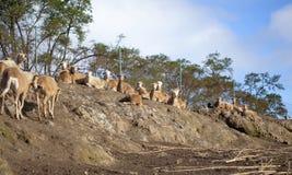 Scène cisaillée d'élevage des moutons Images libres de droits