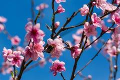 Scène colorée de fleur tendre de Sakura contre le ciel bleu Images stock