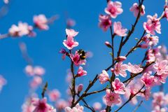 Scène colorée de fleur tendre de Sakura contre le ciel bleu Photo libre de droits