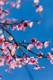 Scène colorée de fleur tendre de Sakura contre le ciel bleu Photographie stock