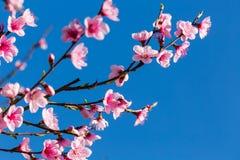 Scène colorée de fleur tendre de Sakura contre le ciel bleu Photos stock