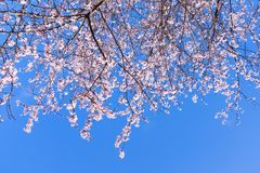 Scène colorée de fleur tendre de Sakura contre le ciel bleu Image libre de droits
