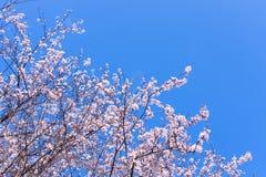 Scène colorée de fleur tendre de Sakura contre le ciel bleu Image stock