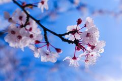 Scène colorée de fleur tendre de Sakura contre le ciel bleu Photos libres de droits