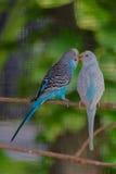 Scène d'amour des oiseaux Photos libres de droits