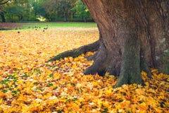 Scène d'automne en parc avec l'érable jaune d'automne Photos stock