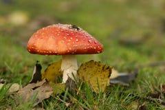 Scène d'automne : toadstool avec des lames photos stock