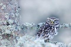 Scène d'hiver avec le petit hibou, noctua d'Athene, dans la forêt blanche de mélèze en Europe centrale Portrait de petit oiseau d photos stock